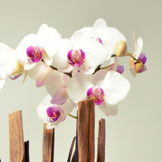 fleuriste-montpellier-juvignac-orchidee-blanche-etoile-vignette