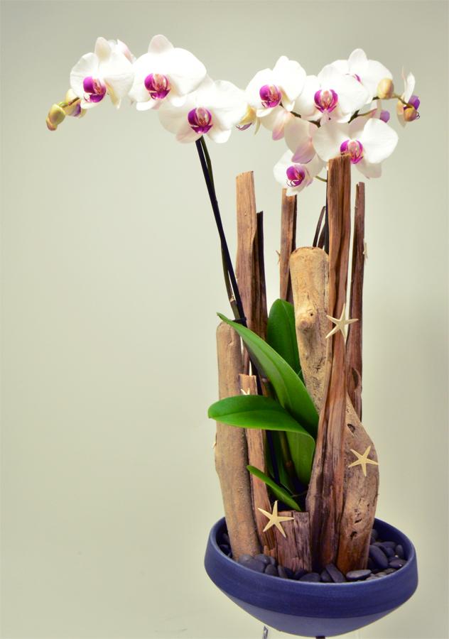 fleuriste-montpellier-juvignac-orchidee-blanche-etoile