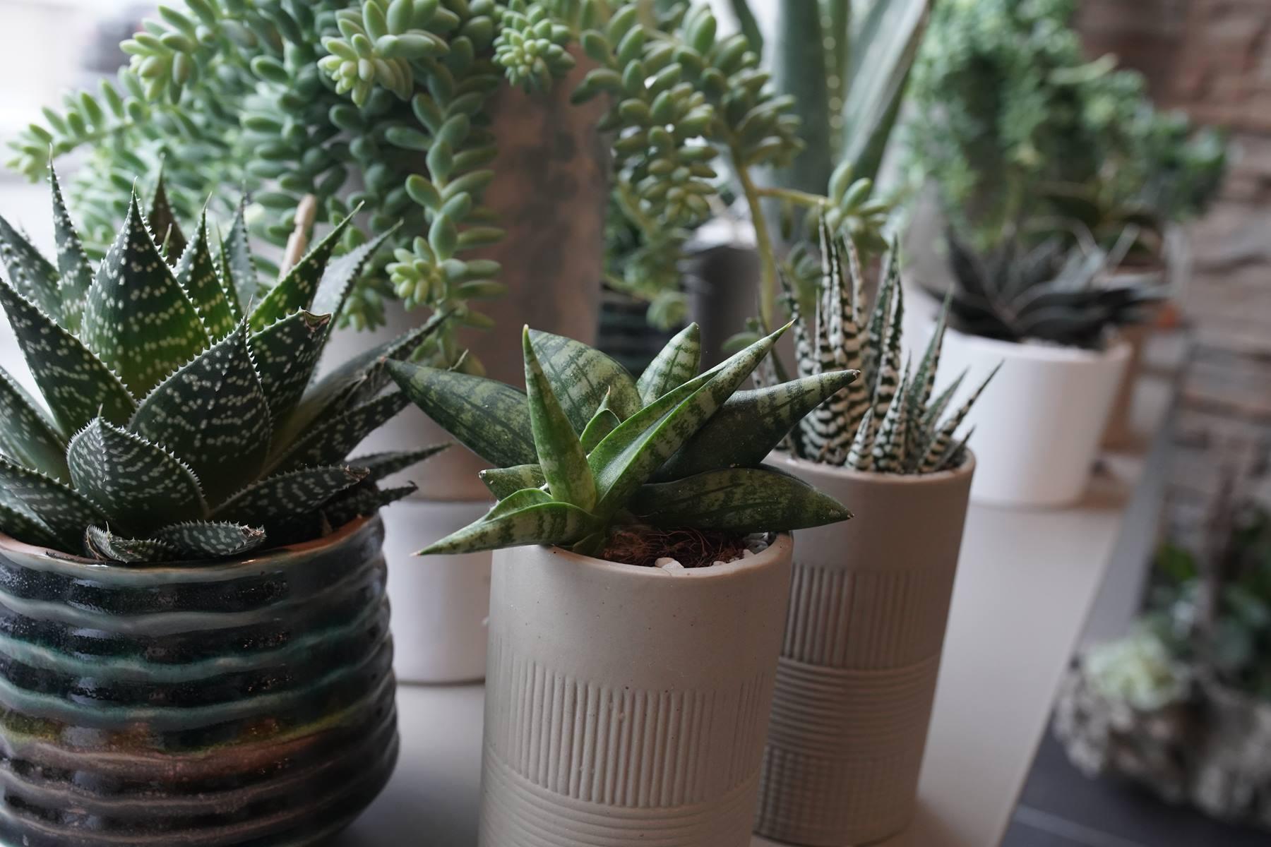 plantes-grasses-montpellier-juvignac-symphonie-florale